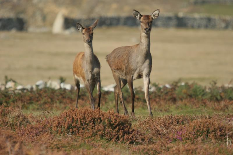 Wild deer on Ramsay Island